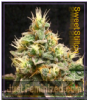 710 Genetics Sweet Stilton Fem 5 Marijuana Seeds